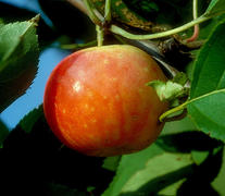 Hughes' Crab Apple <em>(Malus cv/ 'Hughes' Crab')</em>