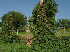 Hops growing in recreated Submural Beds